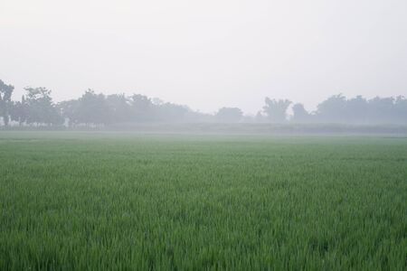 Fresh green rice fields in the background