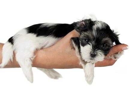 9 semanas de edad dulce puppy terrier sentar sobre la mujer de mano aislado en blanco  Foto de archivo