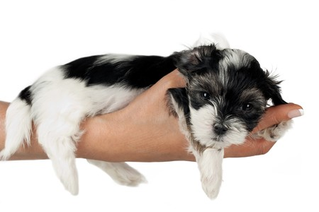 9-week-old sweet Puppy terrier laying on woman hand Isolated On White