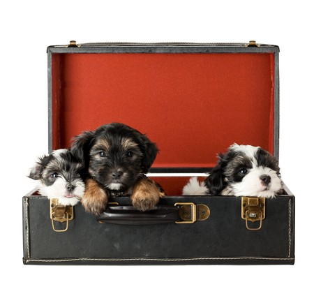 Three Puppies Terrier in old Suitcase on moving day; head shot and shes looking straight at camera