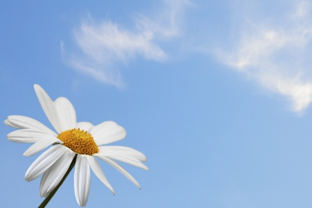 Daisy single flower on blue sky background photo