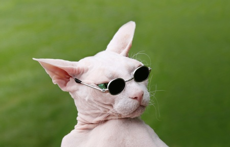 Funny Sphynx Hairless Cat playful with sunglasses