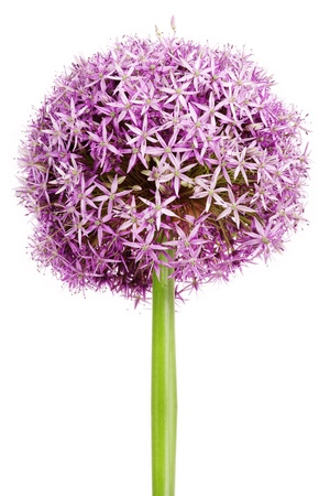 flower beds: Allium flower head detail, isolated on whte