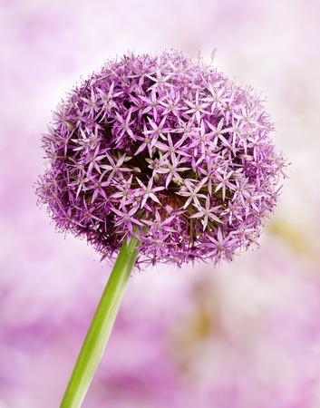 Allium flower head detail, isolated on whte photo