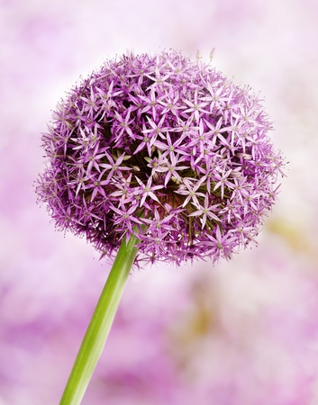 Allium flower head detail, isolated on whte photo