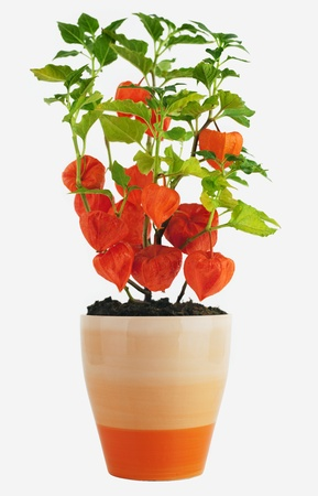 alkekengi: Chinese Lantern Plant  Physalis alkekengi  in Flower Pot isolated on white  Stock Photo