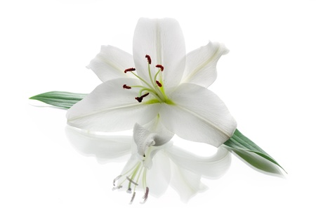 lily buds: White Lily isolated on white background