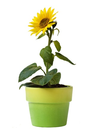 Sunflower in a Flower Pot Isolated on a white background photo