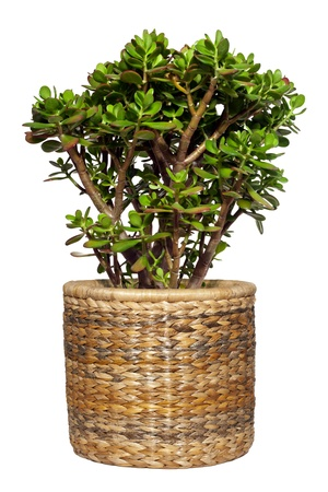 Crassula ovata Dollar Pflanze auch als Jade-Anlage oder Geld Baum auf weiß isoliert bekannt