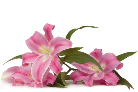 pink lily: Pink lily Flower Arrangement on white Background