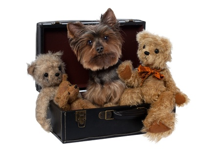 dog toy: Yorkshire Terrier with Teddys in Suitcase  on a white background