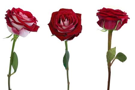 single rose: Red roses isolated on white background Stock Photo