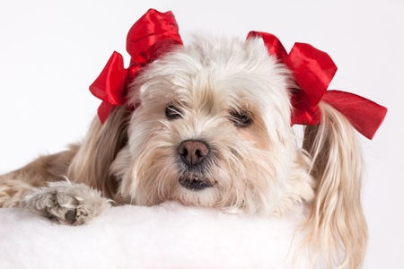 christmas costume: cute Christmas Maltese Terrier on a white background