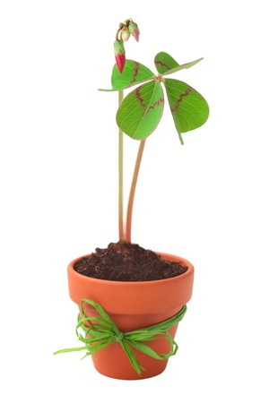 flower pot with four-leaved clover plants in vibrant colors  on a white background photo