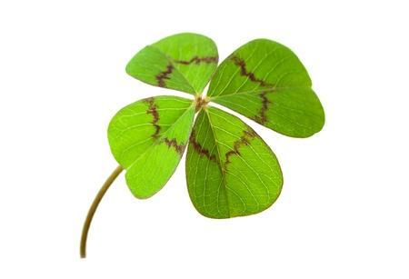 Tr�bol de cuatro hojas para la suerte, aislado en fondo blanco