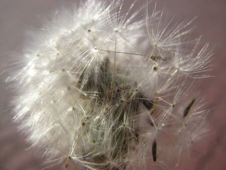 dandelion seeds that have not yet flown away close-up, with a blurred background 写真素材