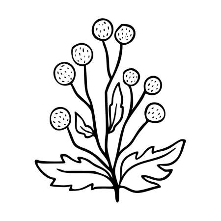 Craspedia outline   element. Herbs doodle botanical icon tansy for . Herbal and medical plant, grass. Modern simple style. Vector illustration isolated on white background.