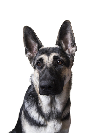 dog portrait on a white background. the East-European shepherd.