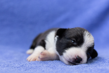 new-born welsh corgi kardishan puppy with open eyes lies and sleeps against a blue mohre background. animal care concept.