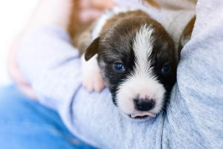 hands of the person child hold a small newborn puppy welsh corgi cardigan . the puppy has just opened his eyes sits on his owner feet. man strokes a dog.