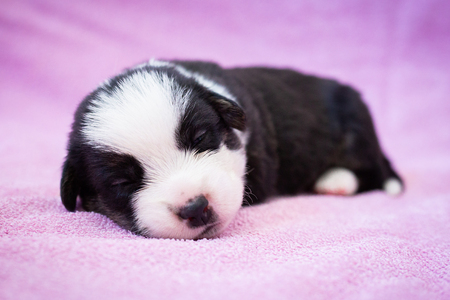 newborn cute fluffy black and white welsh corgi cardigan puppy on pink background. puppy sleeping on the carpet