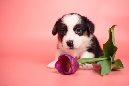 Newborn cute fluffy brown welsh corgi cardigan puppy playing with a cut purple tulip flower and smelling it to smell it on a pink background