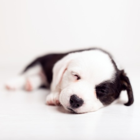 black and white newborn lazy relaxed Corgi puppy Lies down on the wooden floor for sleeping, dog shudders in sleep close up Stock fotó