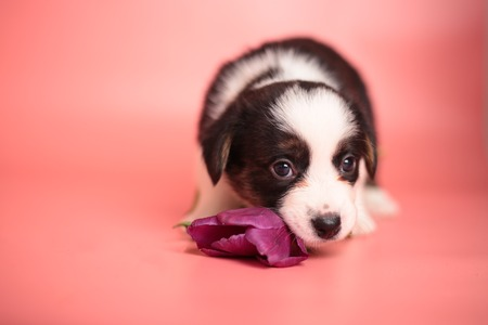 Newborn cute fluffy brown welsh corgi cardigan puppy playing with a purple tulip flower and smelling it to smell it on a pink background