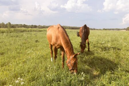 herd of horses chestnut horse grazing in a summer field Imagens