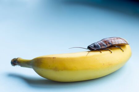 A huge brown Madagascar cockroach crawls on a banana on a blue background with place for text. dirty food concept