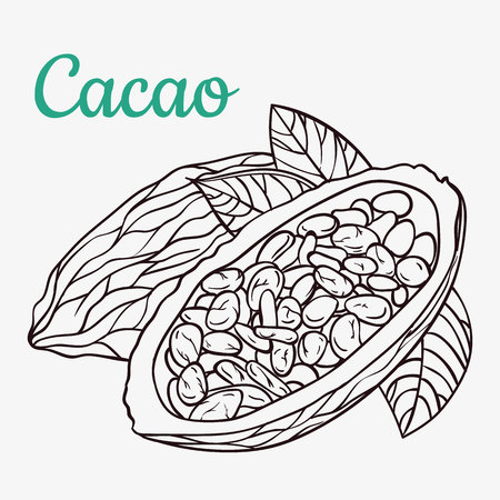 Cocoa beans freehand drawing, chocolate fruit, invigorating ingredient cocoa drink.
