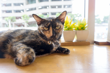 thai cat with scary eyes Stock Photo