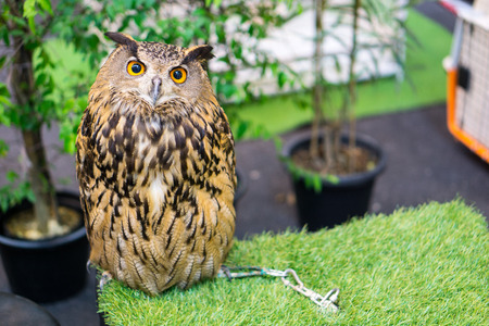 night owl on green grass and owl eyes open.