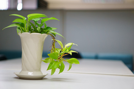 Golden pothos in a vase on the table in the conference room. copy space for text