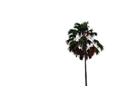 top of sugar Palm tree isolated on white background