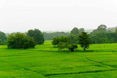panorama view of rice paddy field when heavy raining.