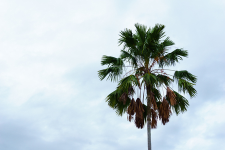 top of single Palm tree with cloudy sky