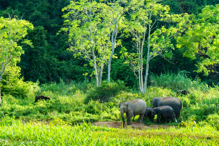 group of big wild elephant with family and big wild bull in the forest of national park. thailand. Stock Photo