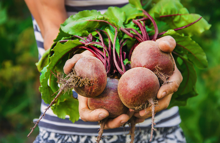 Organic carrots and beets in the hands of man. Selective focus. Nature. 版權商用圖片