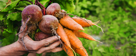 organic home vegetables carrots and beets in the hands of men. Selective focus. nature.