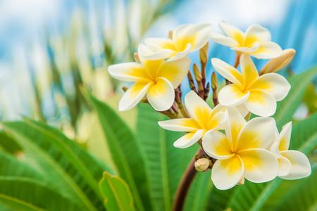 Fleurs de Plumeria fleurissant contre le ciel. Mise au point sélective. la nature. Banque d'images