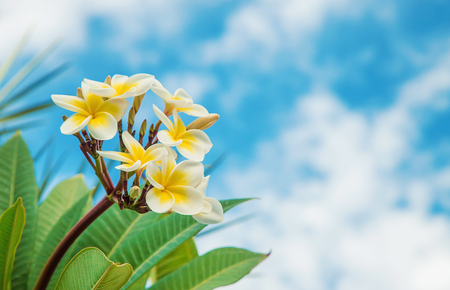 Plumeria flowers blooming against the sky. Selective focus.