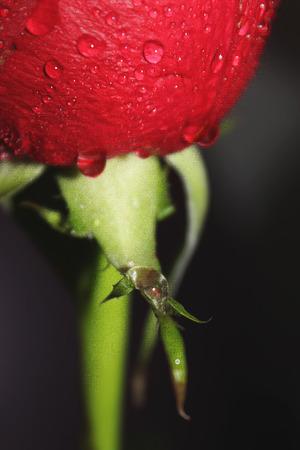 roses in drops of water in large pan. selective focus. Imagens