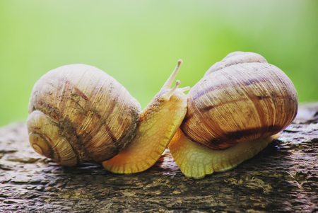snails in natural conditions. Selective focus. nature. Stock Photo