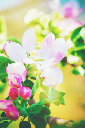 Spring flowering trees. Blooming garden. Selective focus Stockfoto