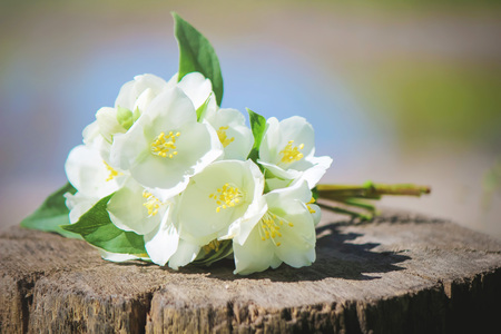 blooming Jasmine flowers. selective focus. nature flowers. 免版税图像