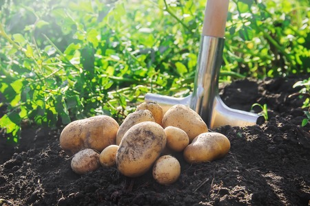 biologische zelfgemaakte groenten oogst aardappelen. Selectieve aandacht. natuur