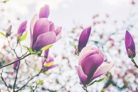 background of blooming magnolias. Flowers. Selective focus nature