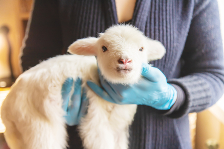 little goat in the hands of a veterinarian to feed. In tutorial focus. nature. Reklamní fotografie