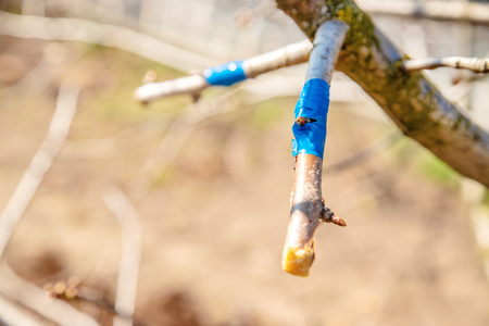 grafting trees in spring. Gardening and vegetable garden. Selective focus. nature.